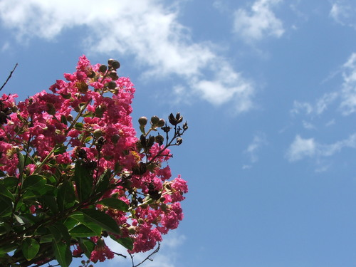 Or is it crepe myrtle hmm pretty nonetheless